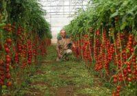 7 noteikumi bagātīgai tomātu ražai